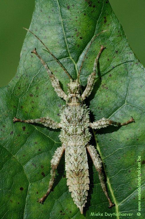 PSG 338 - Mearnsiana bullosa - Vrouwelijke nimf