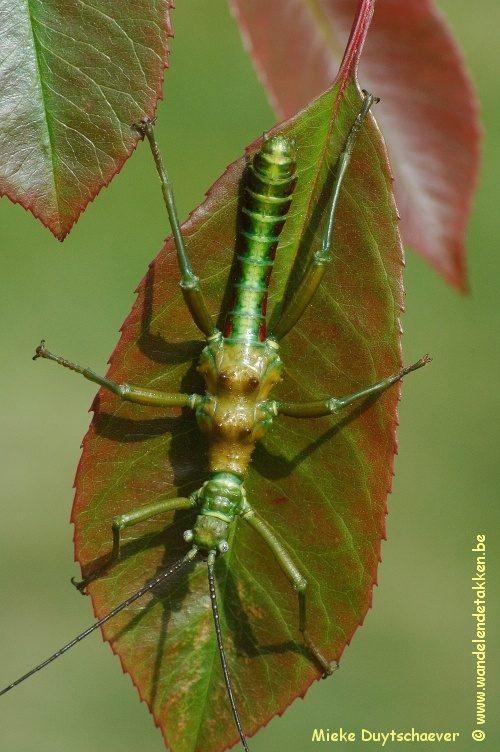 PSG 338 - Mearnsiana bullosa - Volwassen man