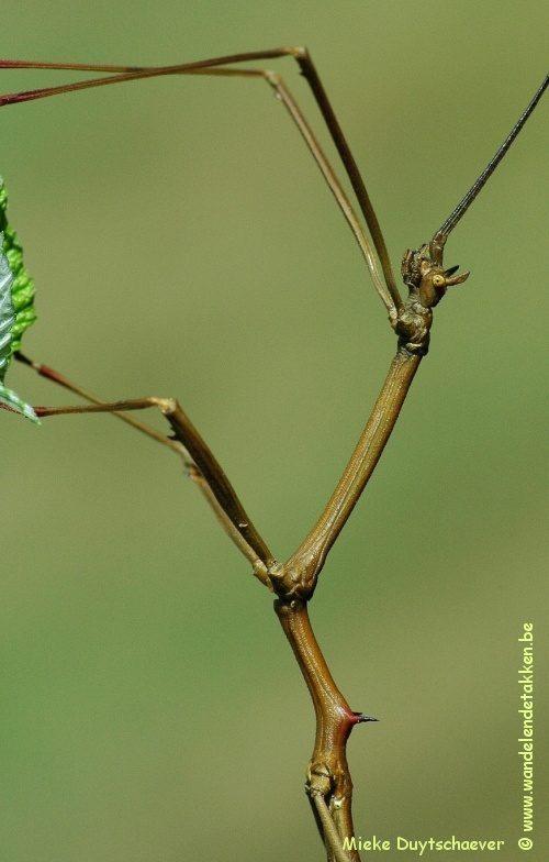 PSG 312 - Phenacephorus latifemur - Volwassen man