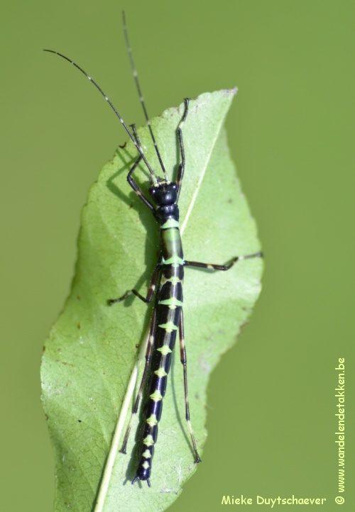 Orthomeria sp Sierra Madres, Philippines - Nimfje L3