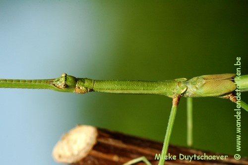 PSG 288 - Phasmotaenia australe - Subvolwassen man