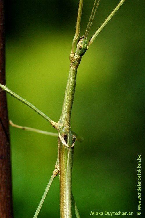 PSG 288 - Phasmotaenia australe - Volwassen man
