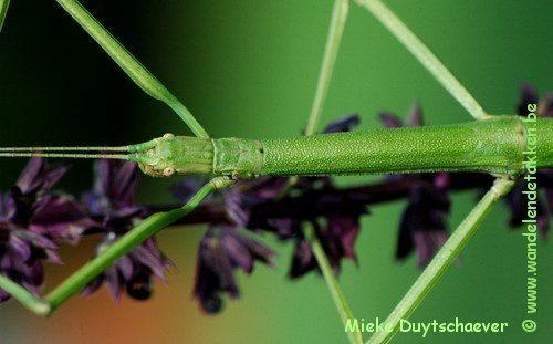 Phraortes bicolor - Volwassen vrouw