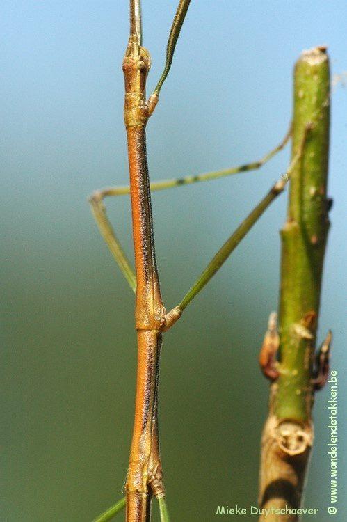 Phraortes bicolor - Volwassen man