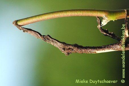 PSG 281 - Pterinoxylus crassus - Vrouwelijke nimf