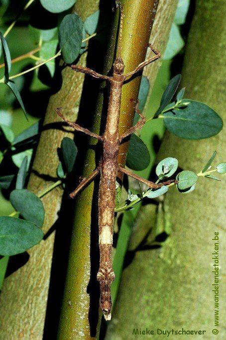 PSG 281 - Pterinoxylus crassus - Volwassen vrouw