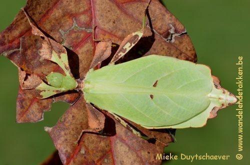 PSG 348 - Phyllium mabantai - Volwassen vrouw