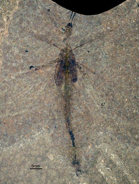 Fossiel van Eophyllium messelensis
