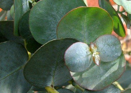 Eucalyptus gunnii - jonge bladeren