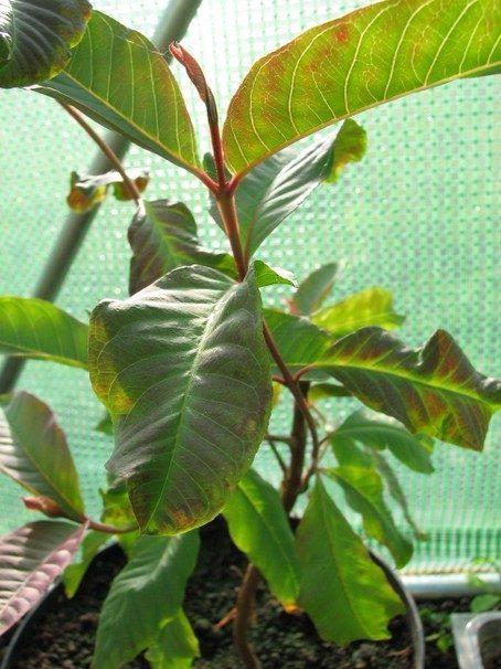 Guajava plant