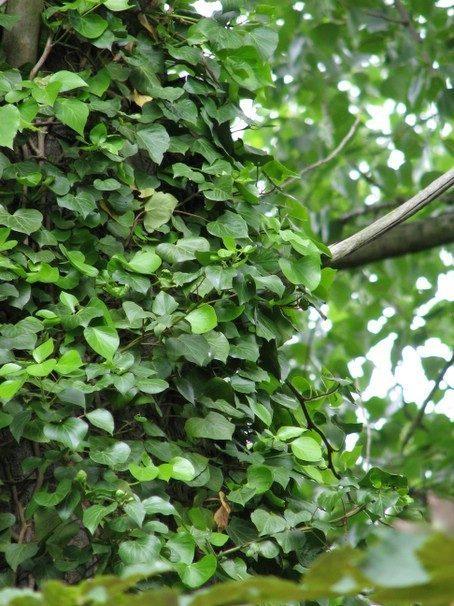Klimop op boomstam